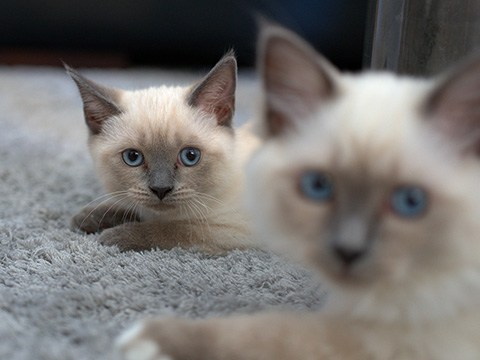 blue points siamese