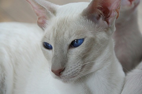 lilac points siamese
