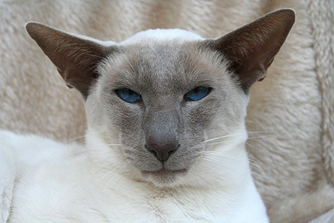 modern wedge siamese