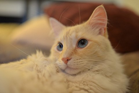 red point siamese