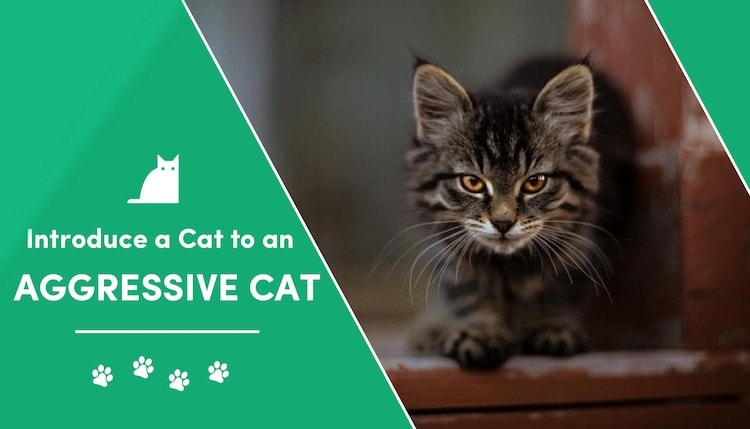 how to introduce a cat to an aggressive cat