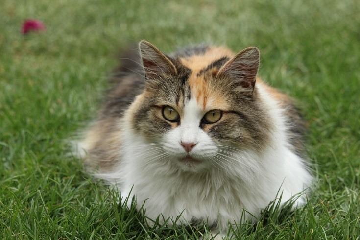 Longhaired Calico Cat
