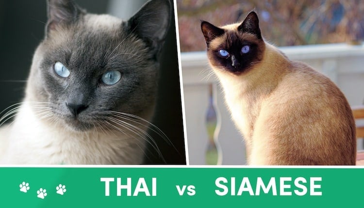 Thai vs Siamese Cat What's the Difference
