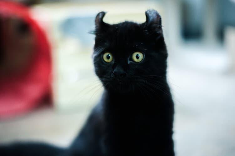 black american curl kitten