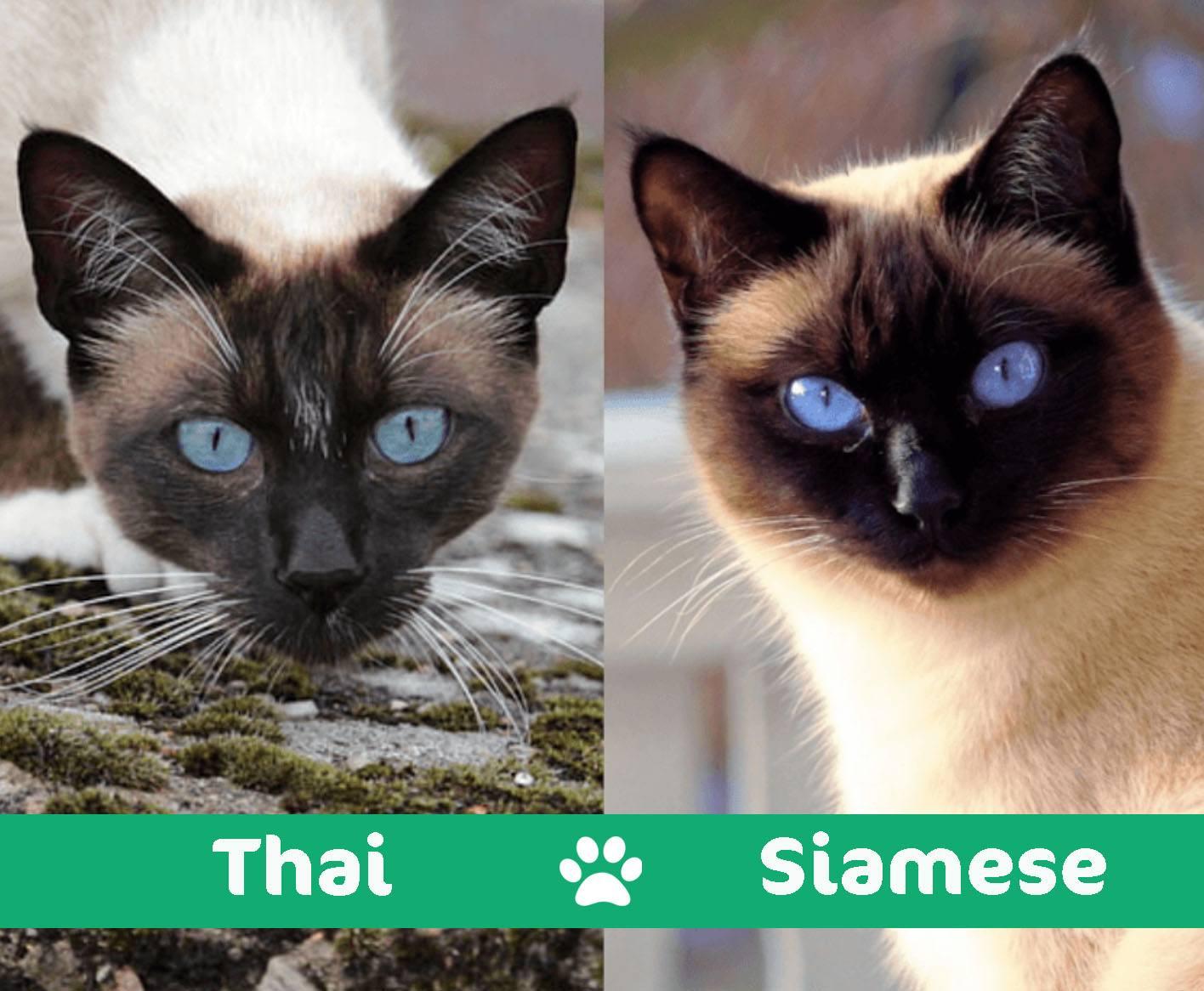 thai vs siamese