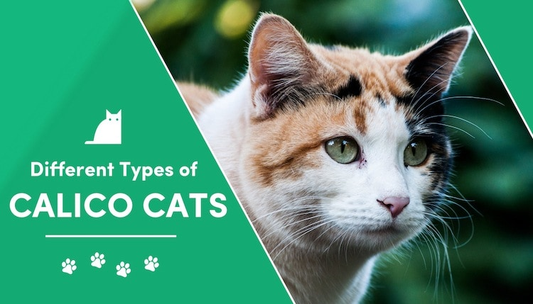 types of calico cat