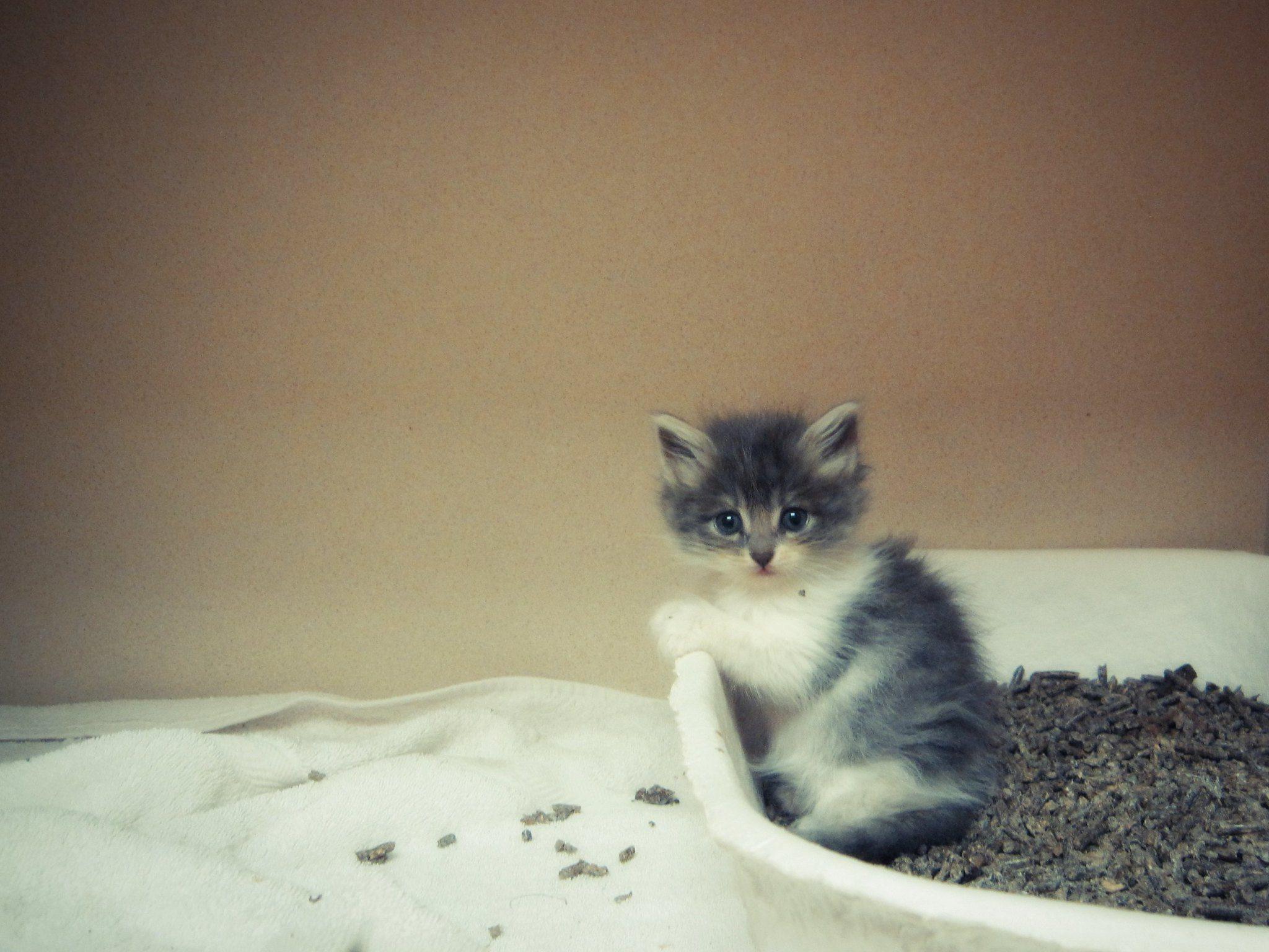 kitten in the litter box