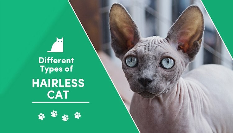 types of hairless cats2