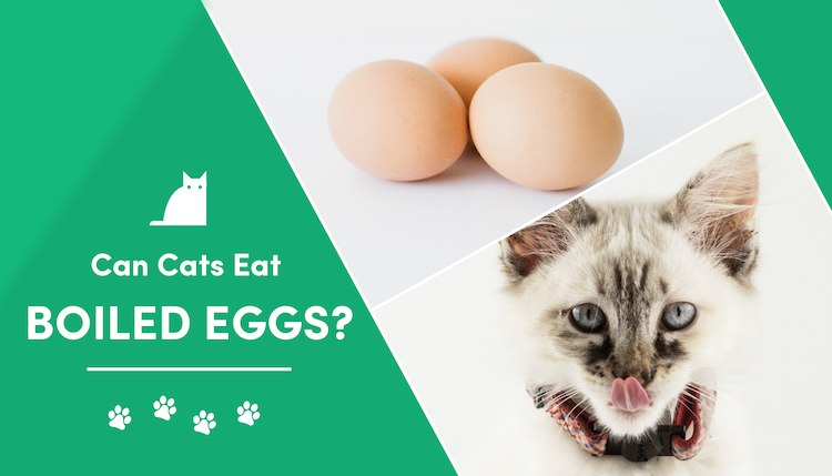 can cat eat hard boiled eggs