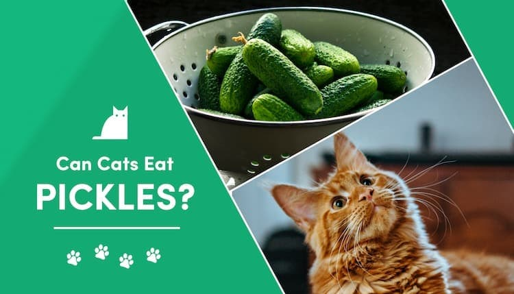 can cat eat pickles