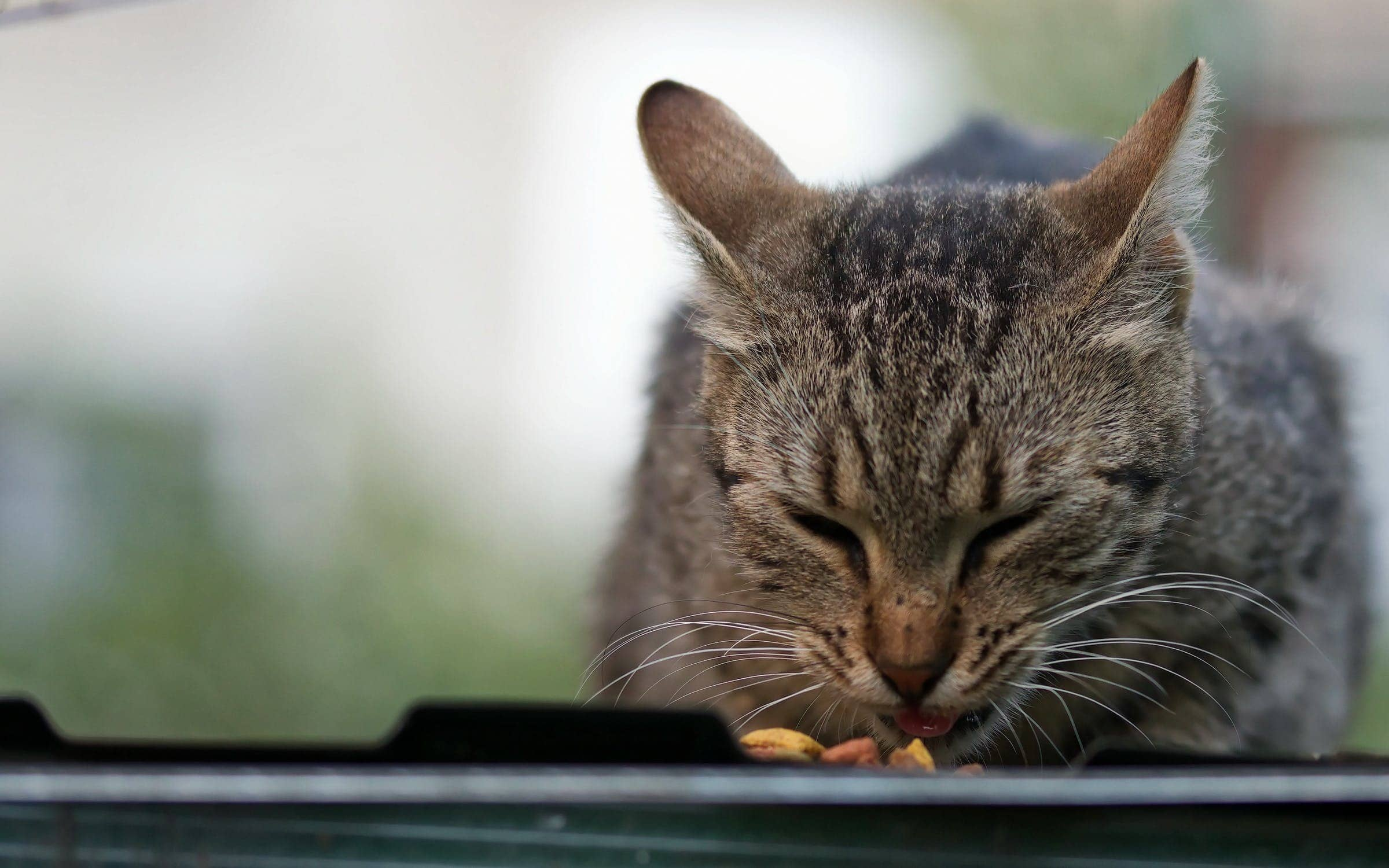 cat eating food