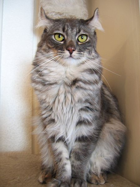 American Curl Cat with ear tuft