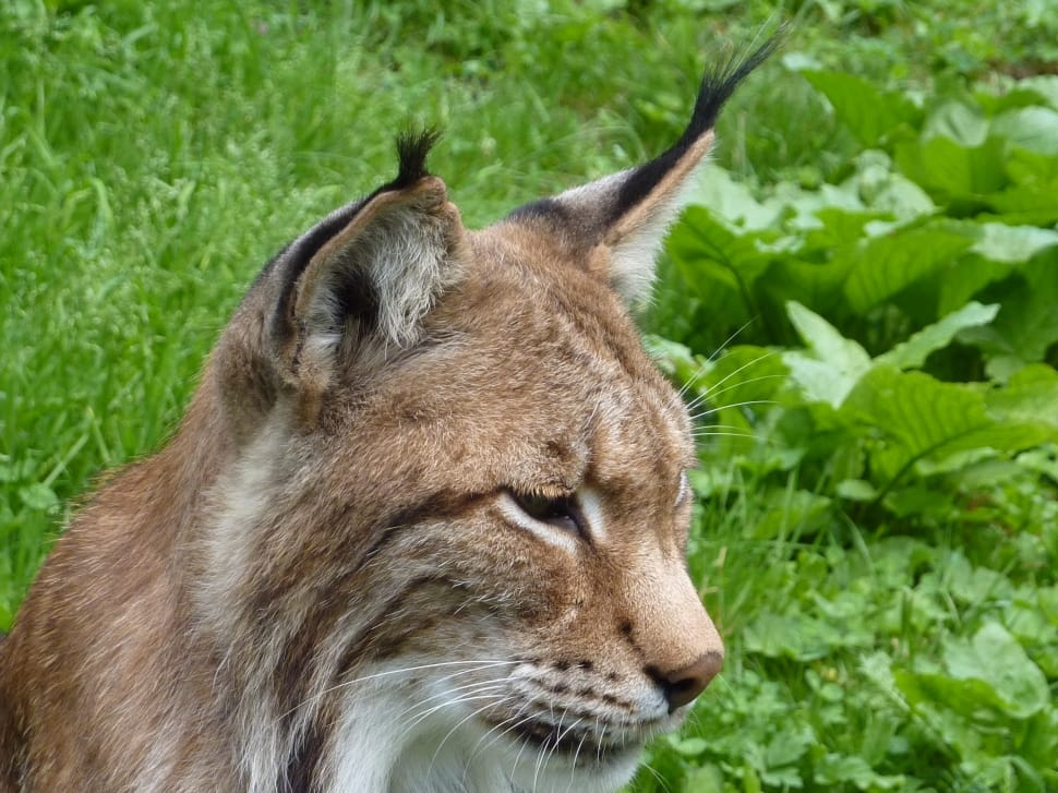 Brown Lynx Wild Cat with ear tufts