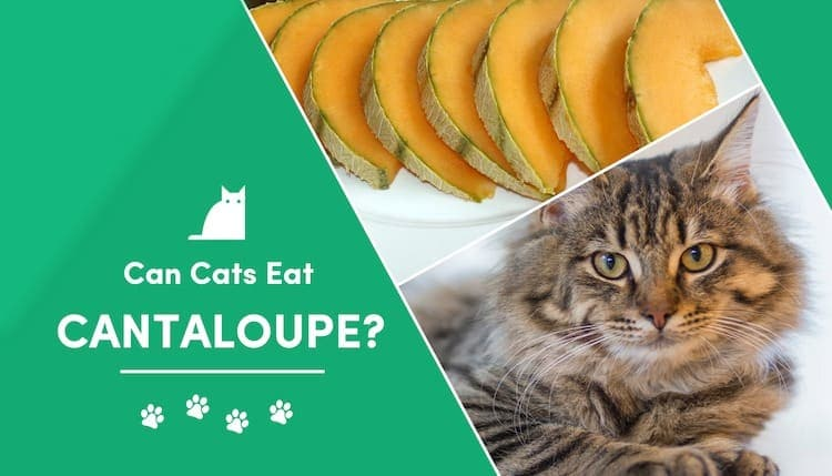 Can Cats Eat Cantaloupe What You Need To Know Excitedcats This article looks at the nutritional value, health benefits, and culinary uses of muskmelon, including how it differs from cantaloupe. can cats eat cantaloupe what you need