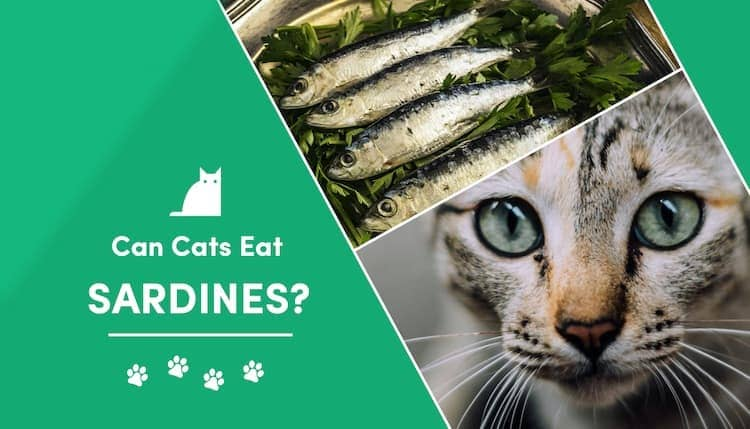 can cats eat sardines?