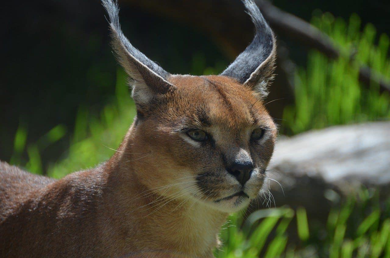 Caracal Wild Cat with ear tuft