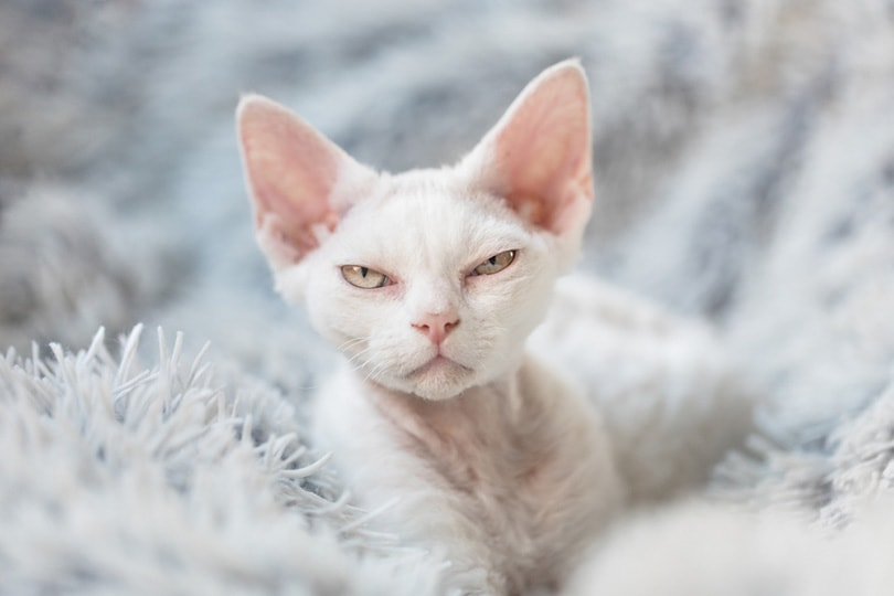 Devon Rex kitten on a white fluffy blanket