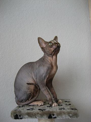 Donskoy Cat Breed Info