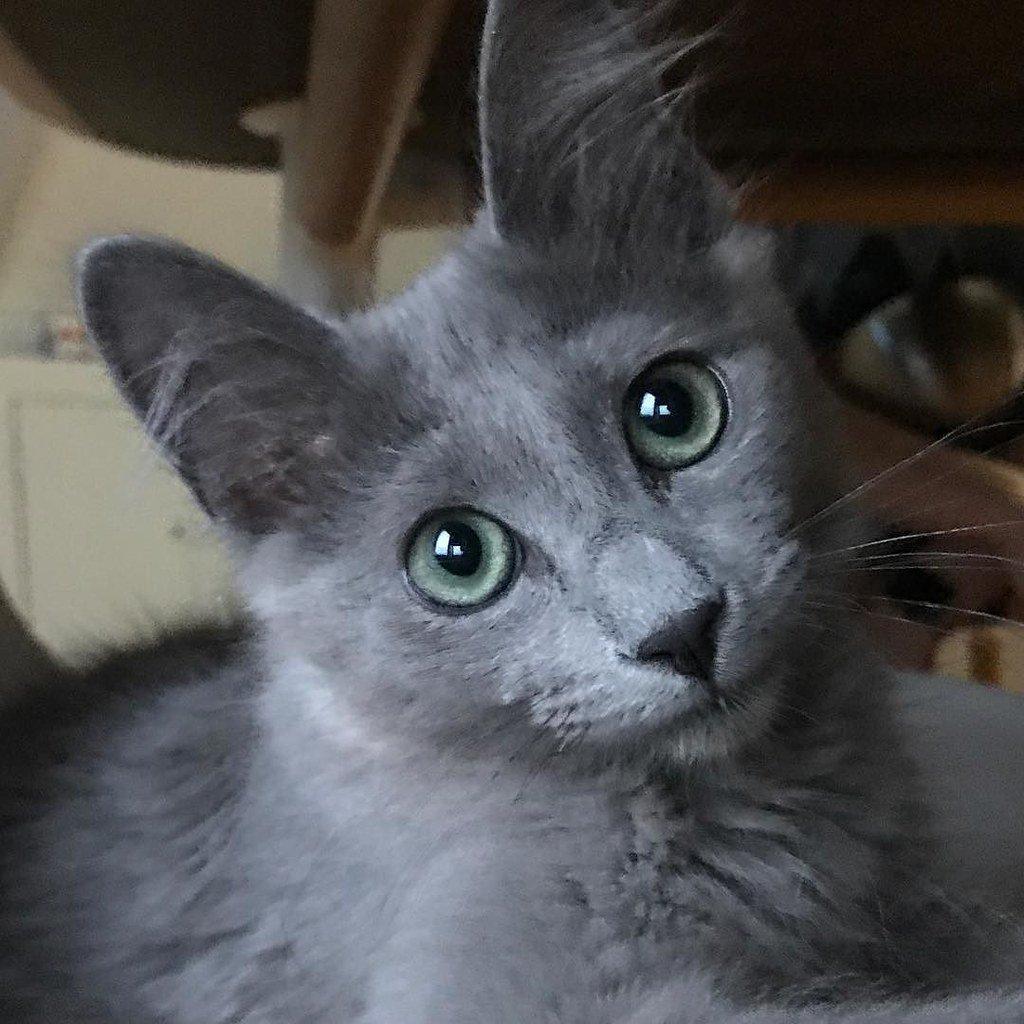 Grey Nebelung Cat with ear furnishing