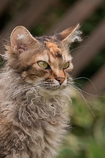 LaPerm cat with ear furnishing