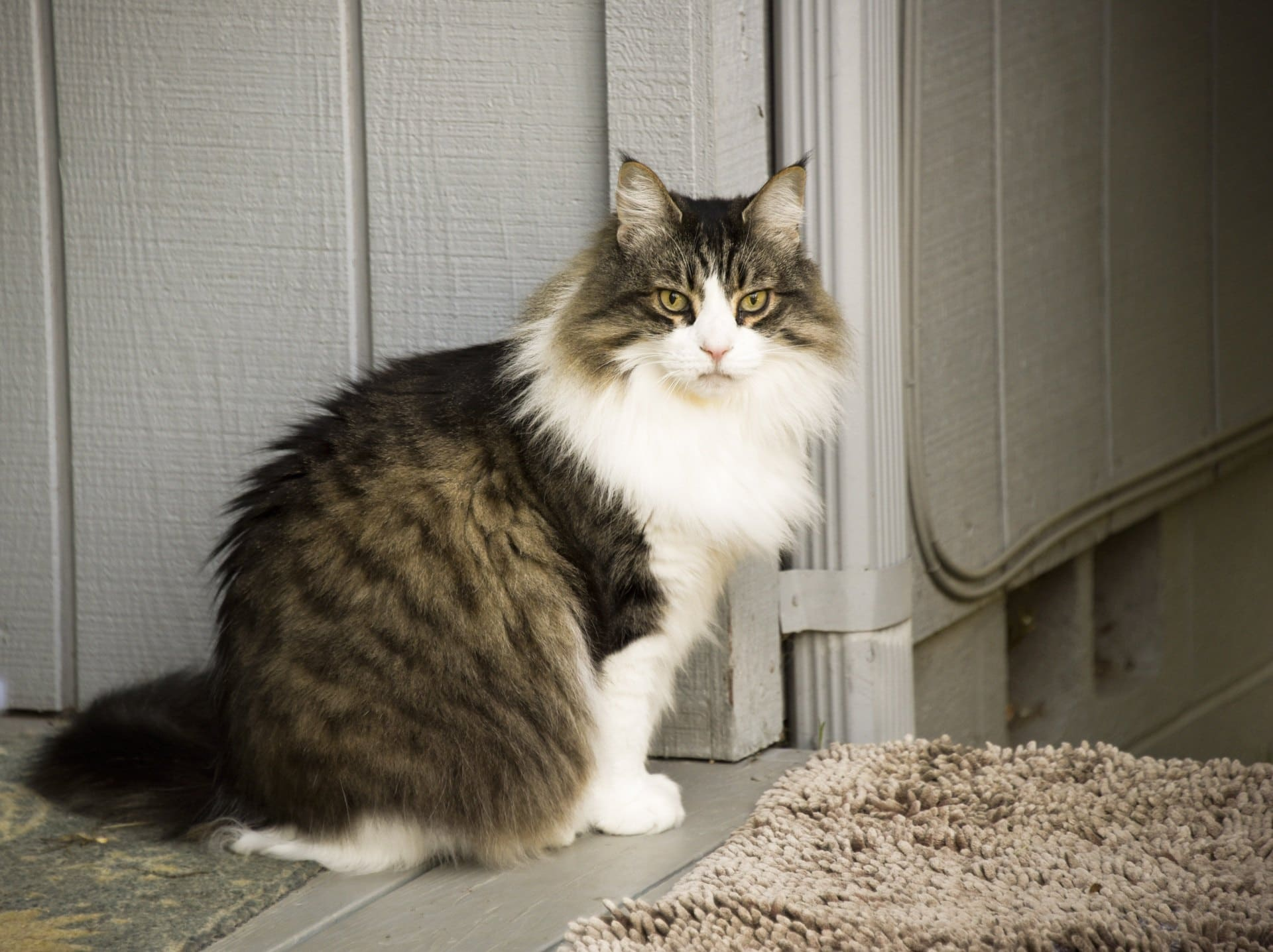 Maine Coon with ear tuft