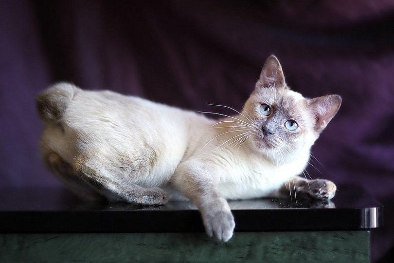 Mekong Bobtail Cat Breed Info