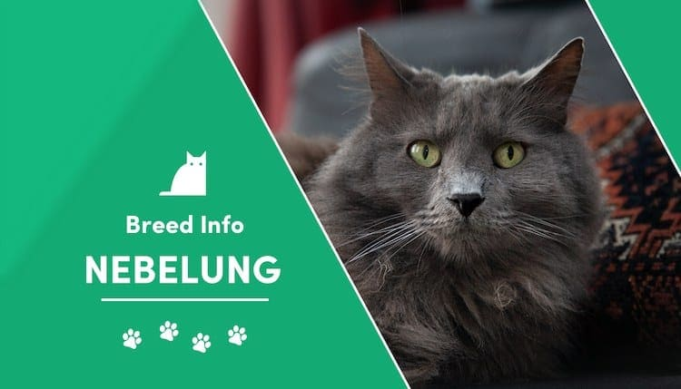 Nebelung Cat Breed Info