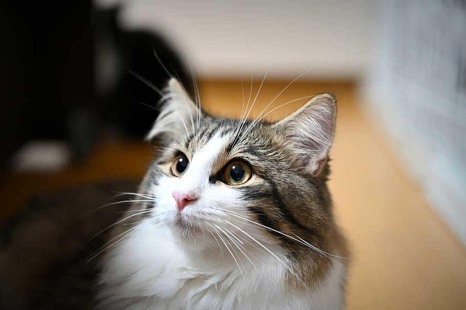Norwegian Forest Cat with ear tuft