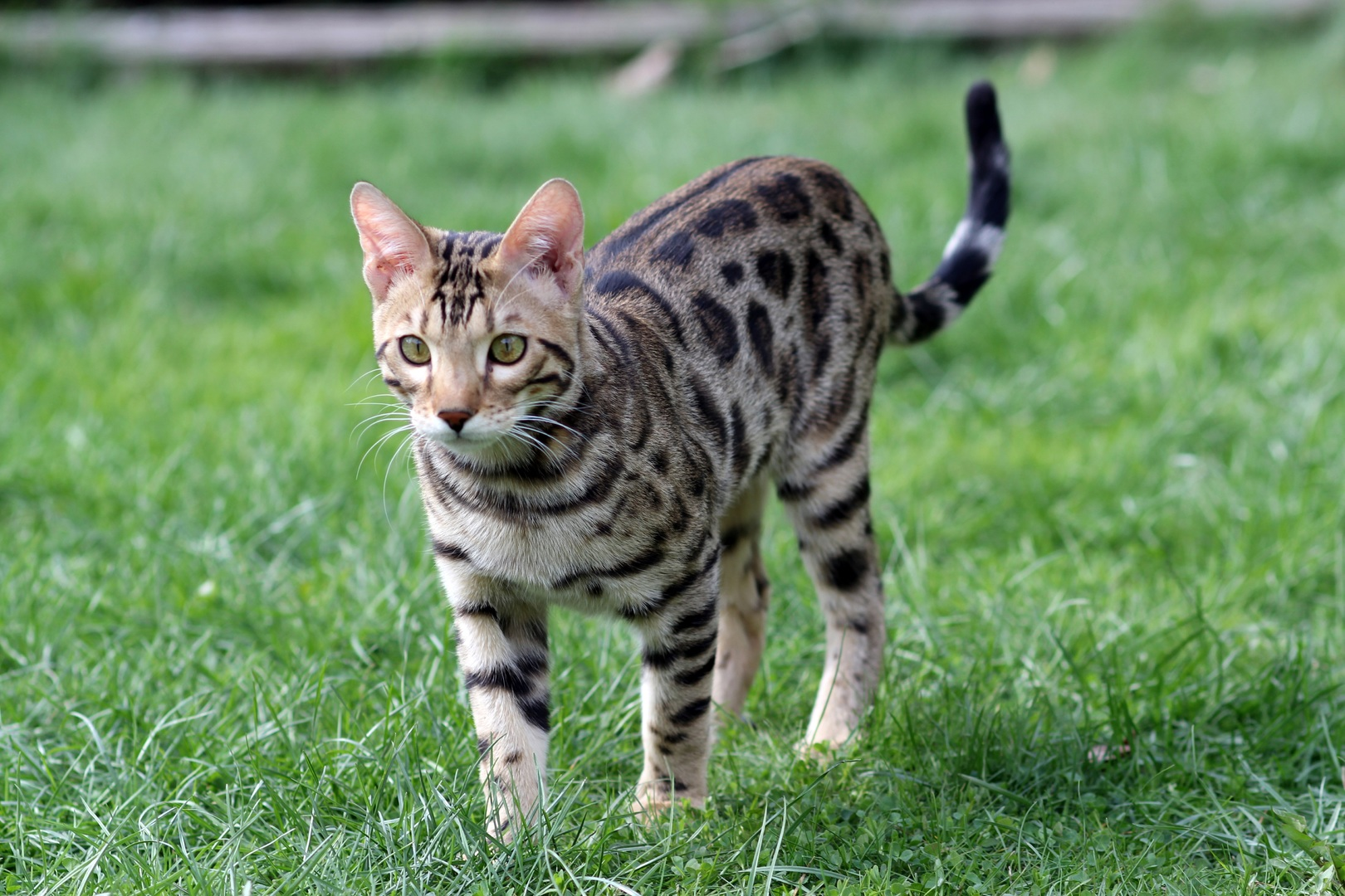 Ocicat with curly tail