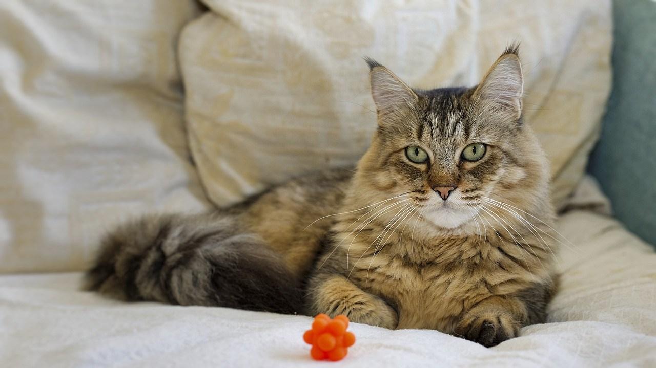 Pixie Bob Cat with ear tuft