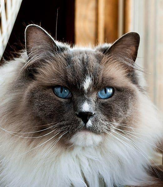 Ragdoll Cat with ear furnishing