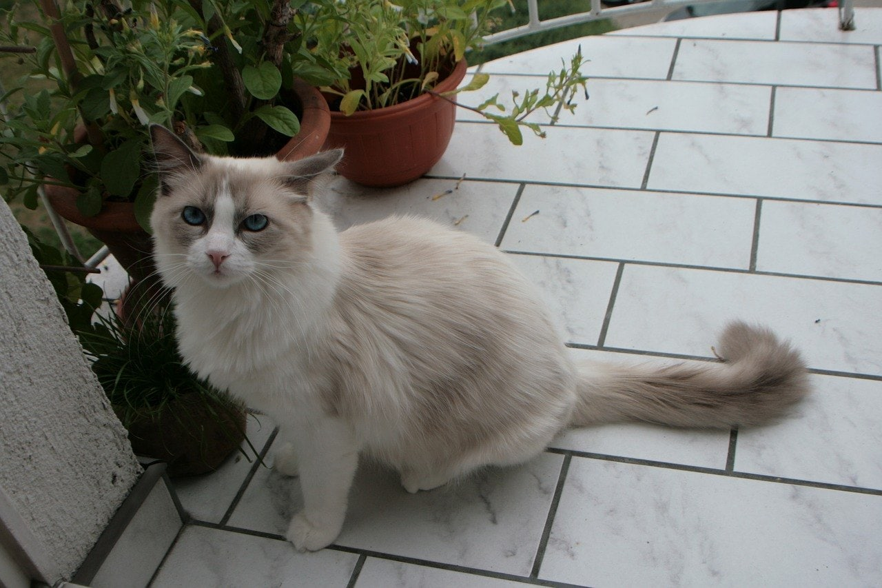 Ragdoll cat with curly tail