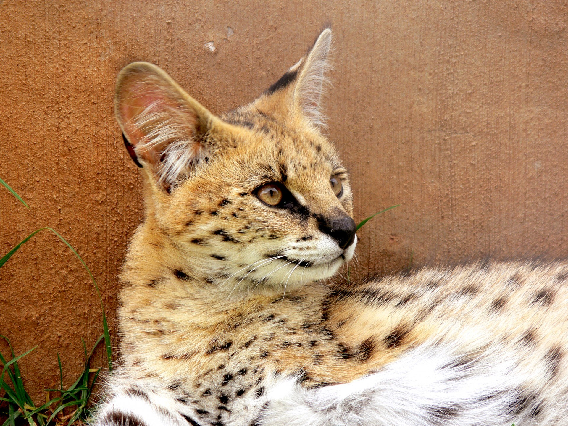 Serval Wild Cat with ear tuft