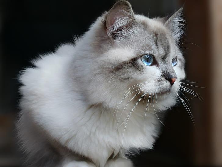 Siberian Cat with ear furnishing