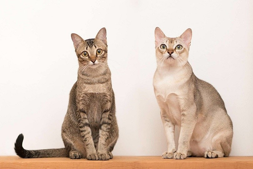 Singapura Cat Breed Info