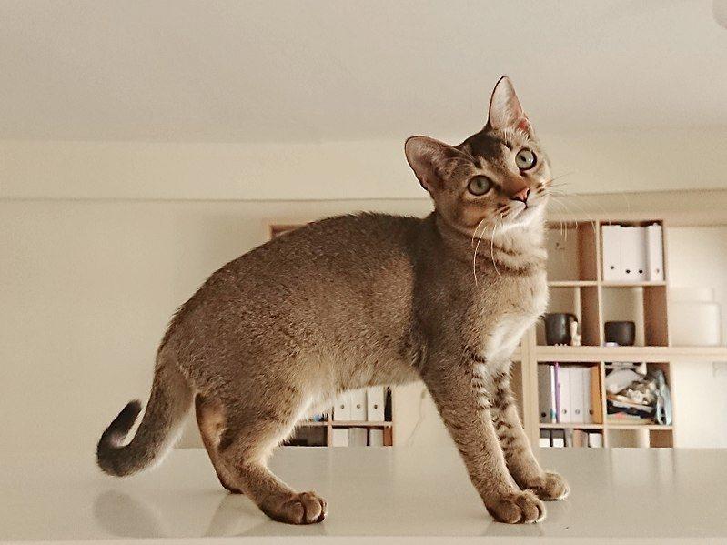 Singapura cat with curly tail