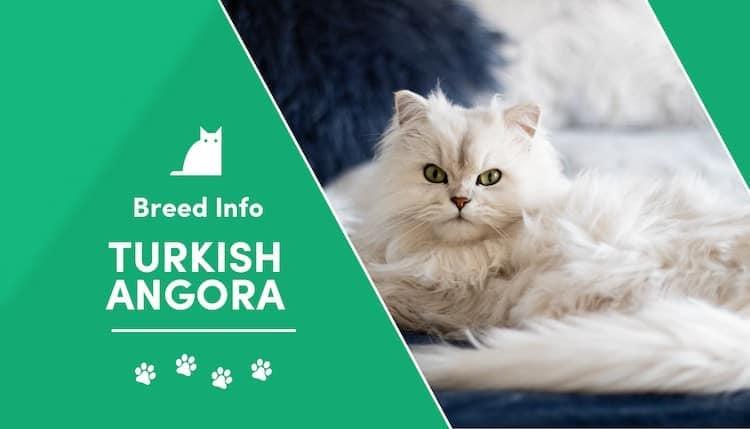 Turkish Angora Cat Breed Info Copy