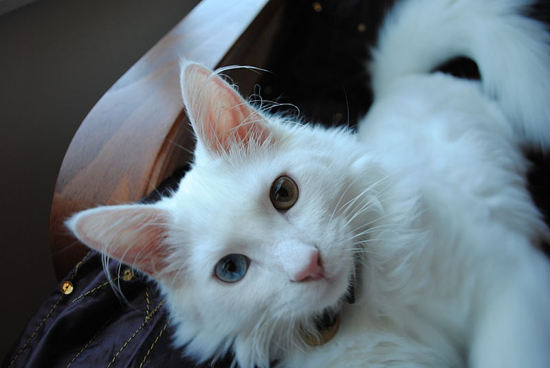 Turkish Van cat with ear tuft