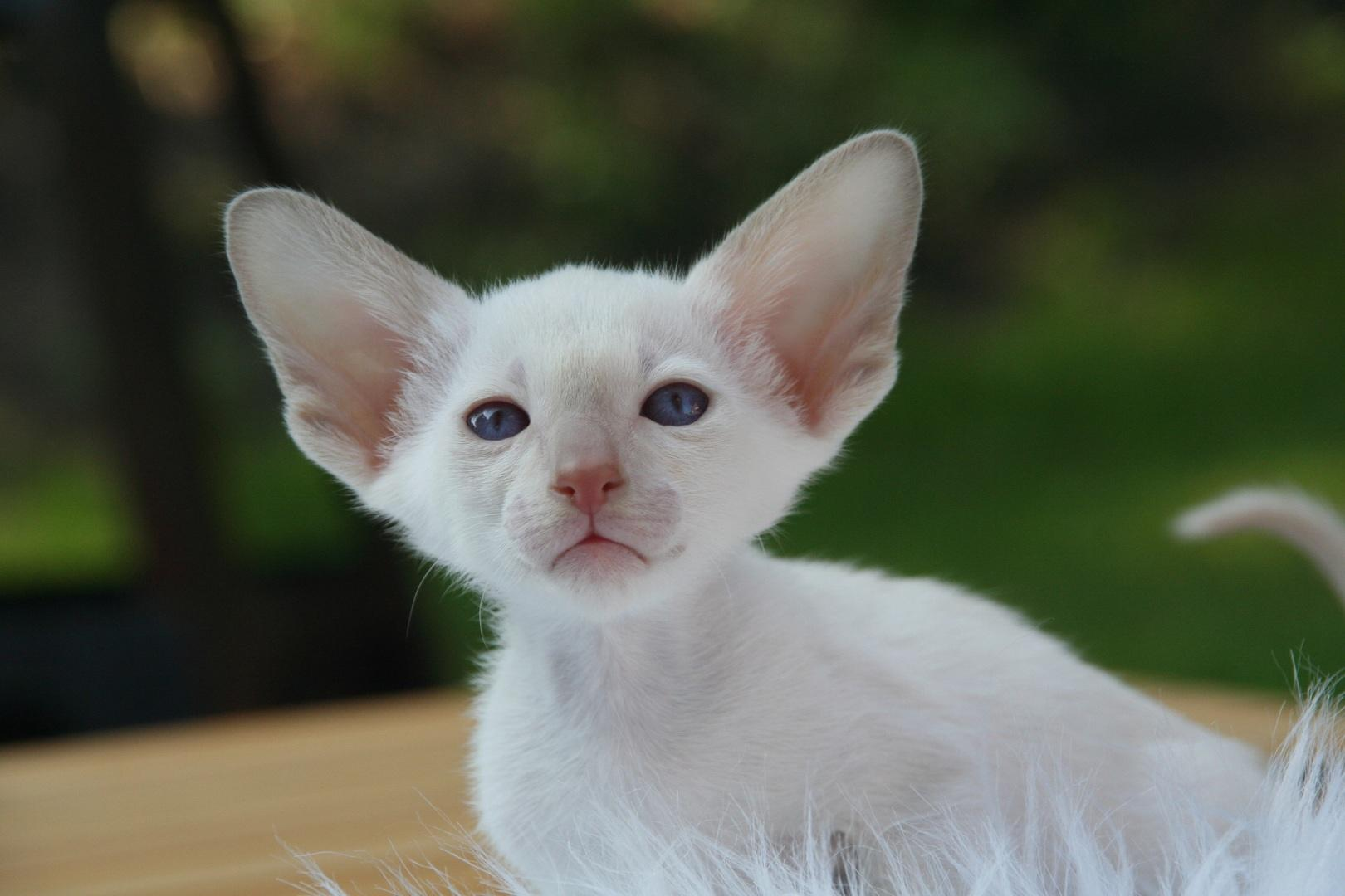 White Devon Rex Kitten