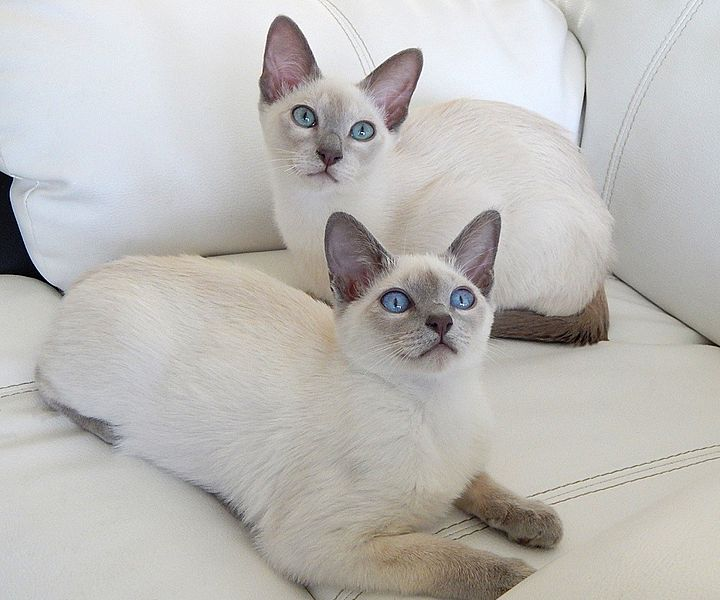 whute wtin cats with blue eyes