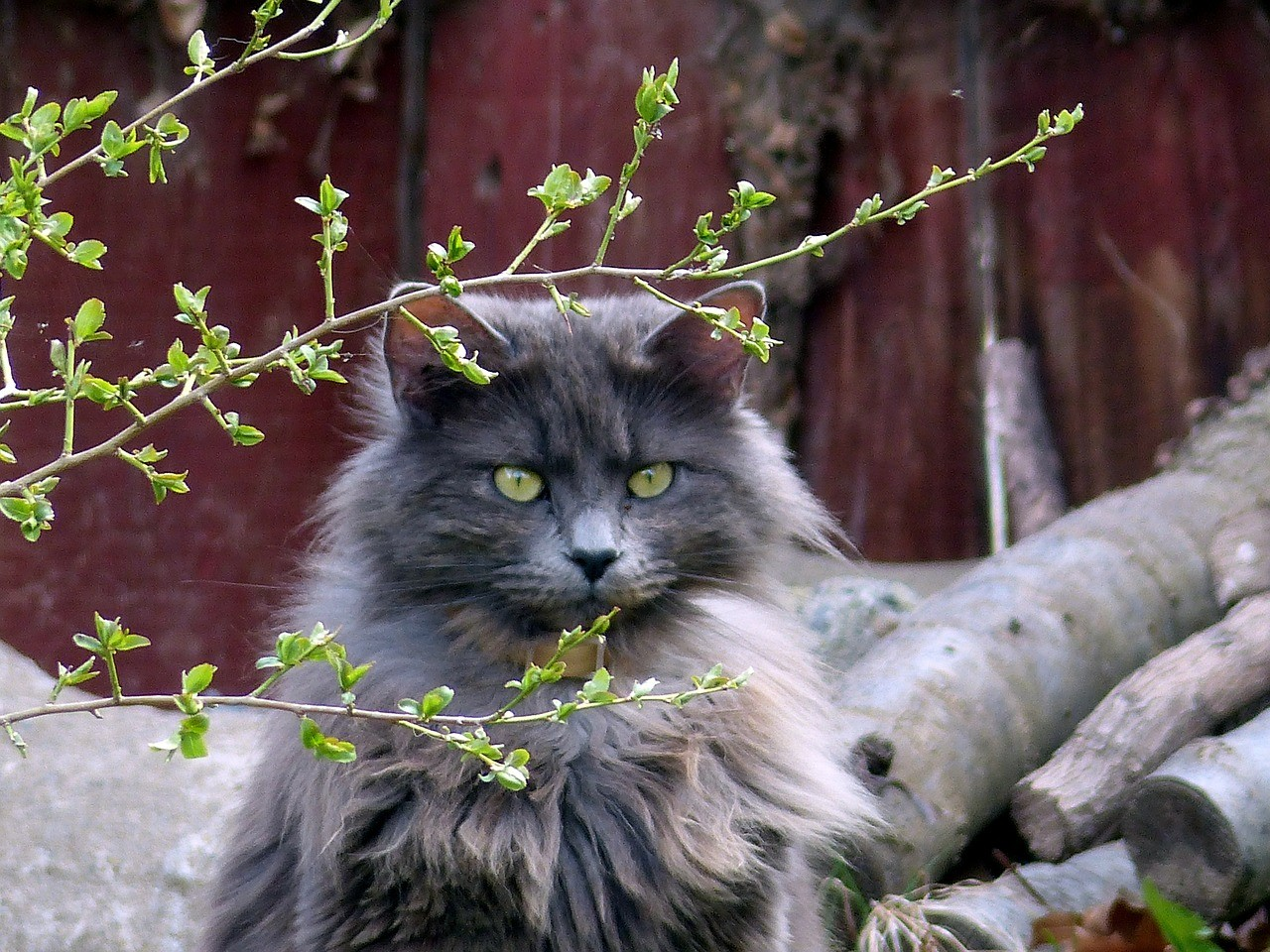 Sassy grey long-haired cat
