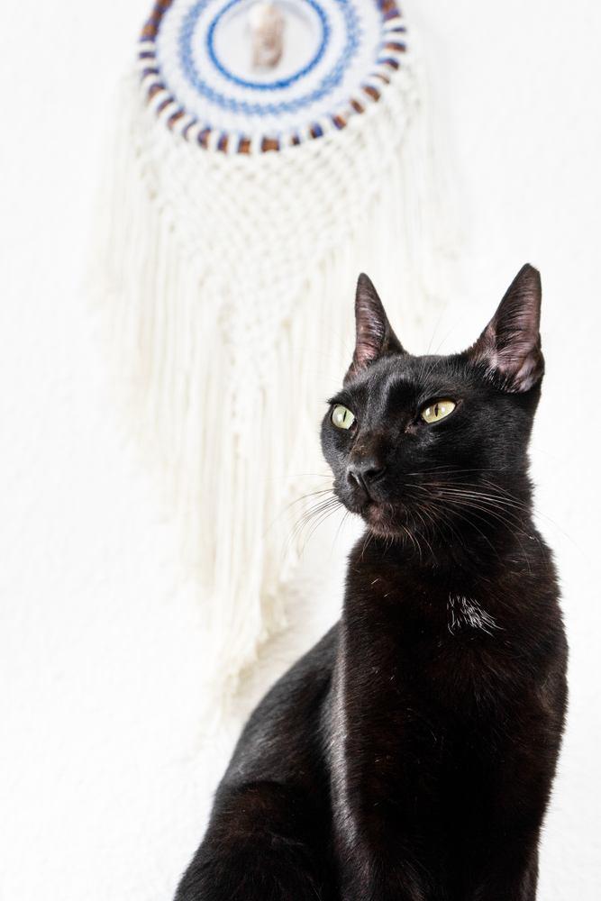 Black cat with dream catcher