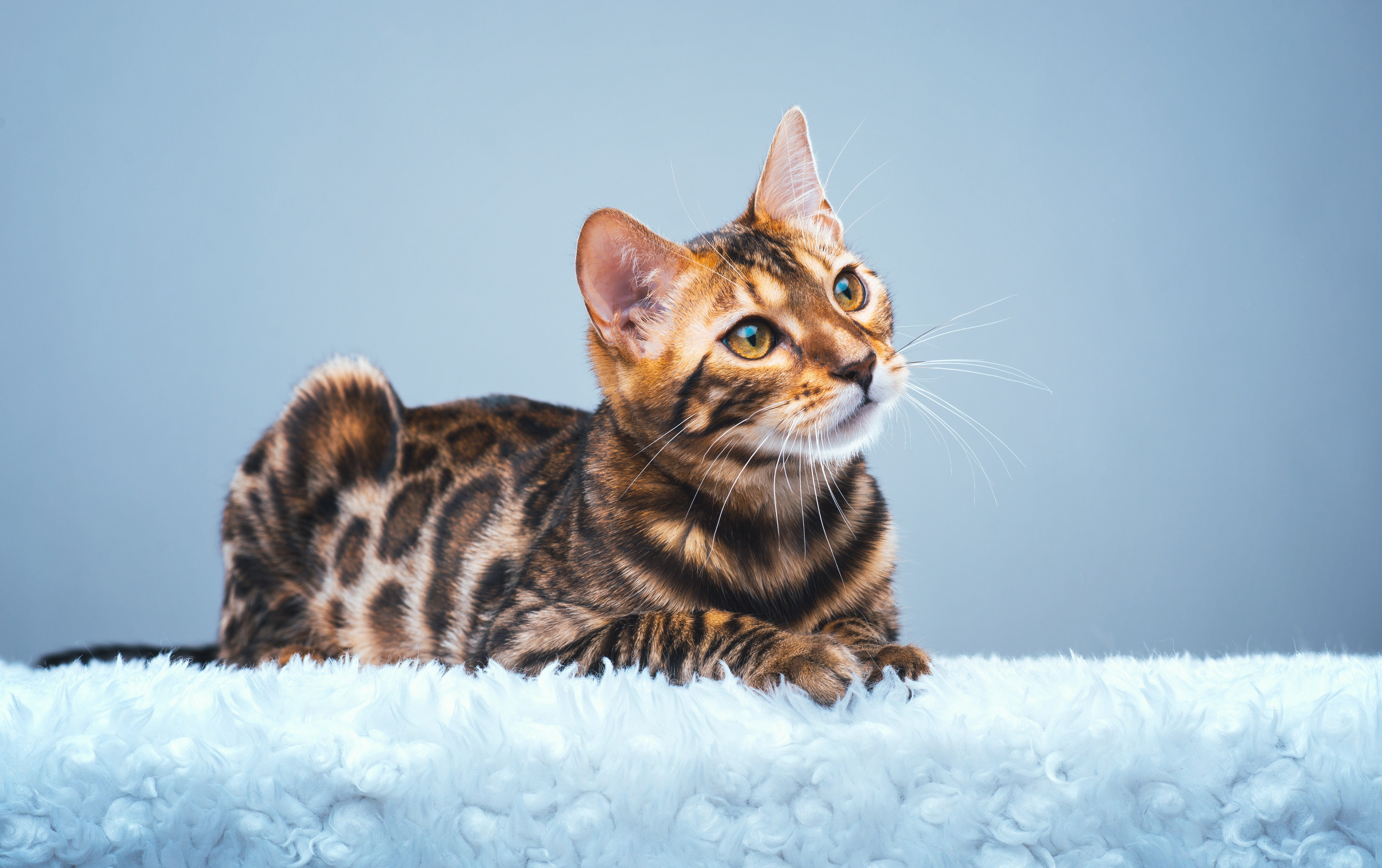 brown spotted bangel cat