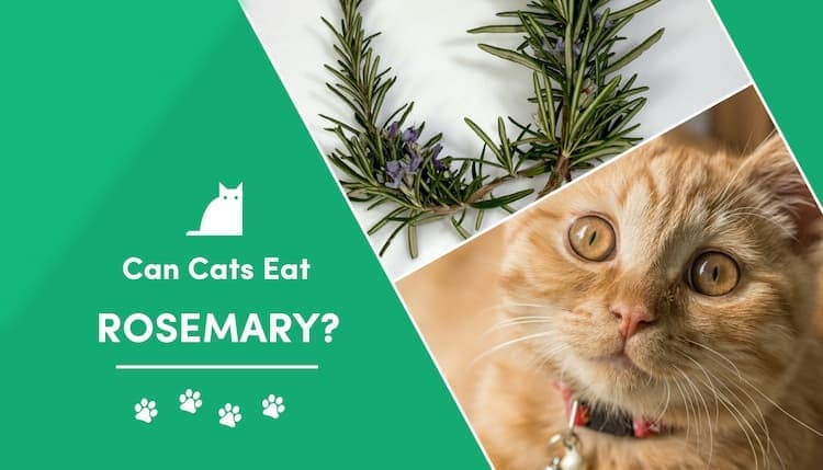 can cats eat rosemary