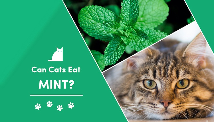 can cats eat mint?