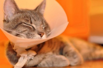 cat with cone collar