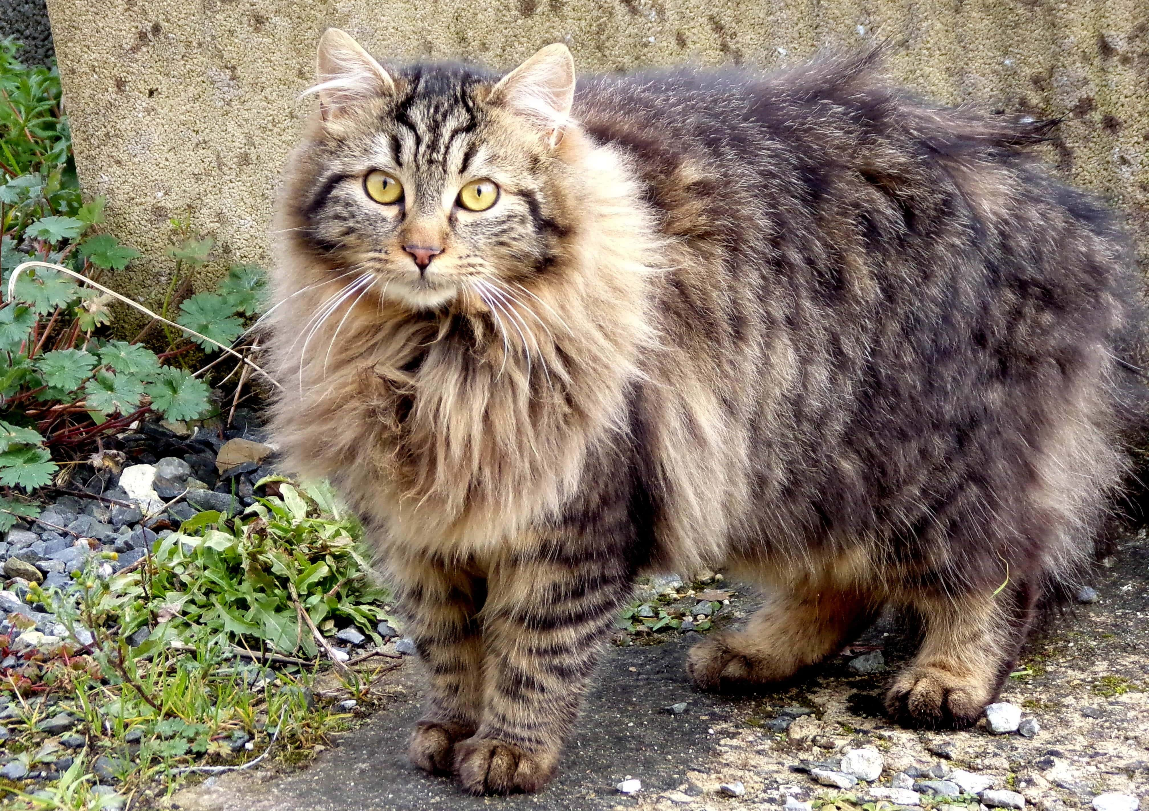 maine coon grey long hair striped cat