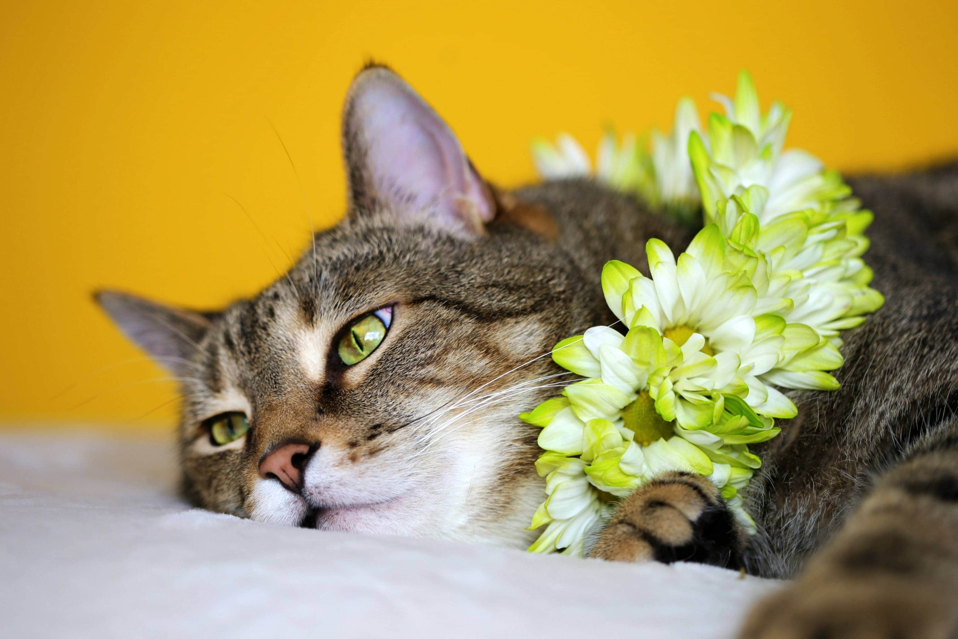 Hawaiian Cat with lei