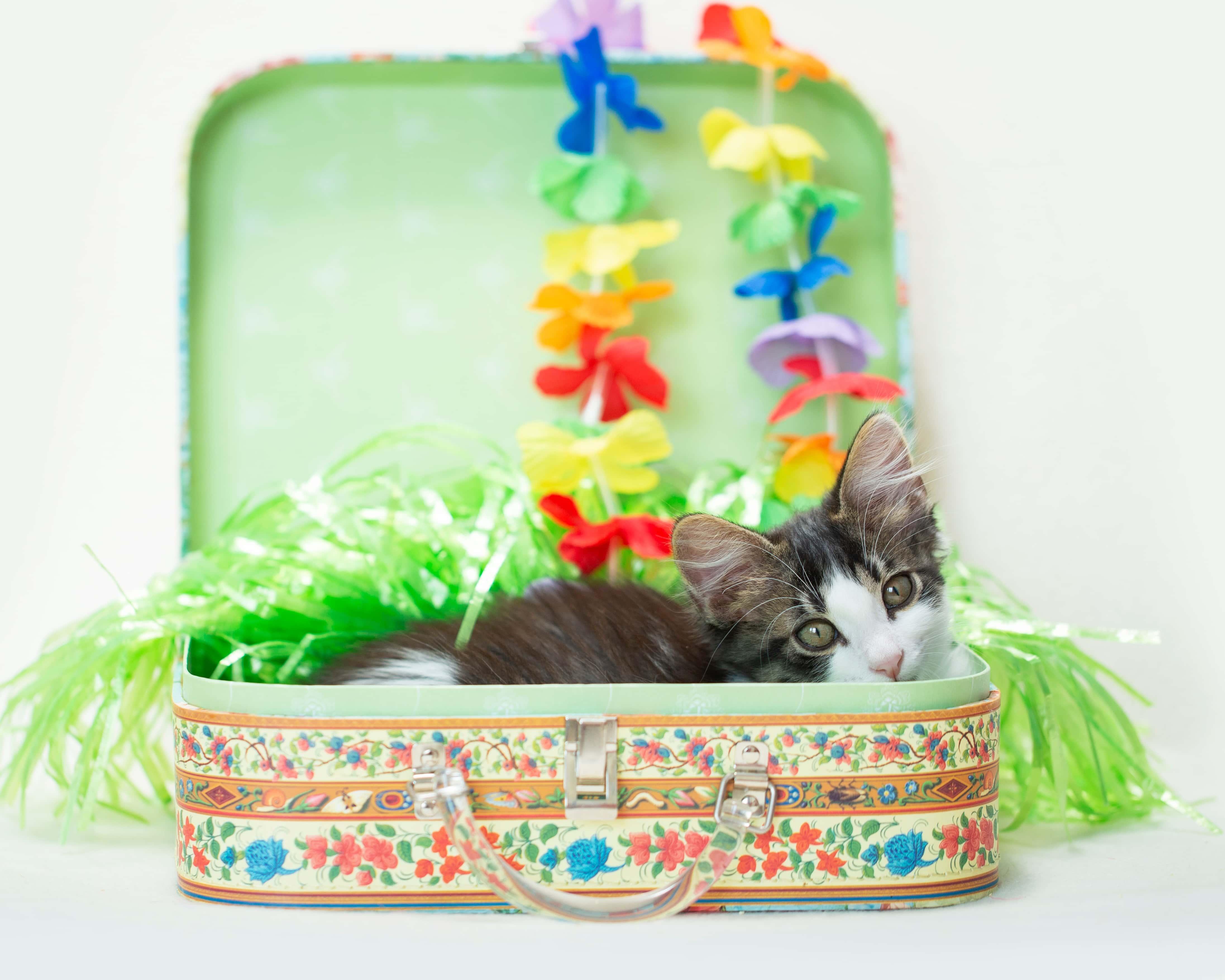 Hawaiian cat in suitcase