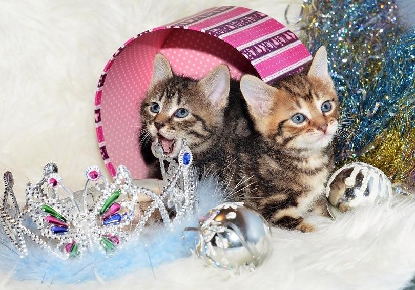 Info Ras Kucing Kurilian Bobtail